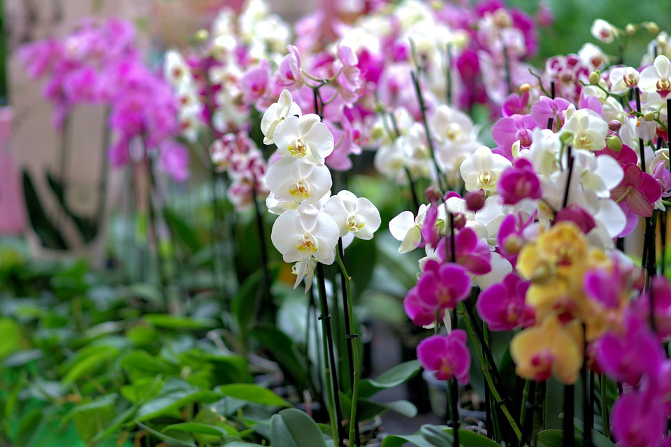 Orchid Expo & Fair, Vajdahunyad Castle, 8 – 11 November