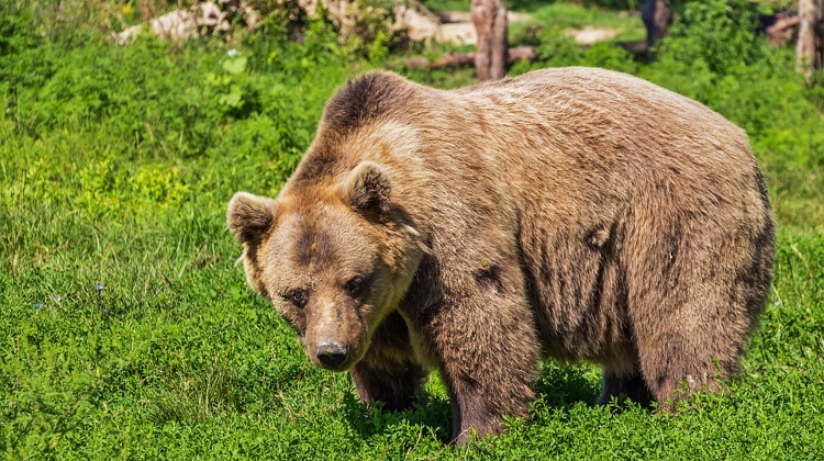 https://www.youtube.com/watch?v=VB0QeoheSgAWild Bear Wanders 300 km In Hungary