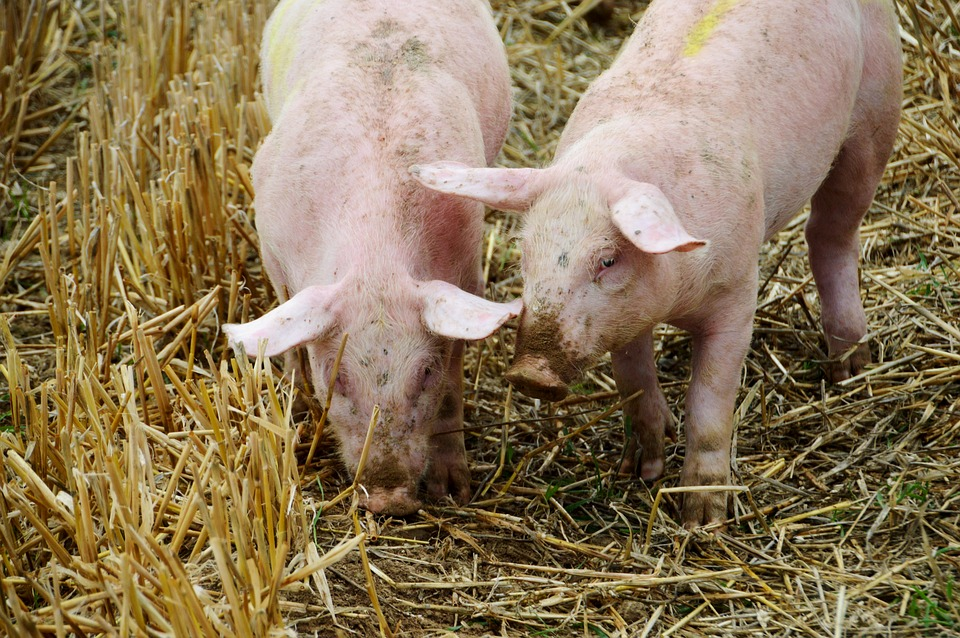 African Swine Fever Reported In 50 Villages In NE Hungary