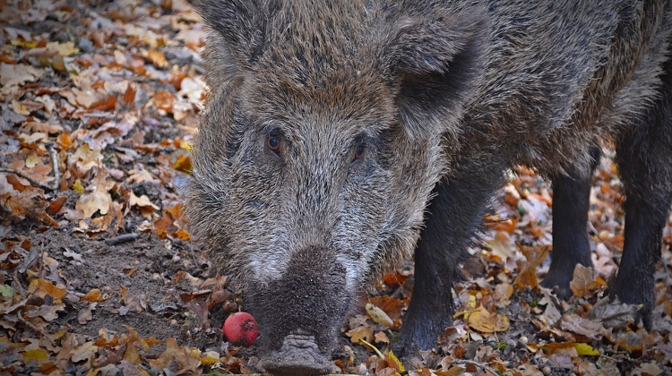 African Swine Fever Found In Boar In Hungary