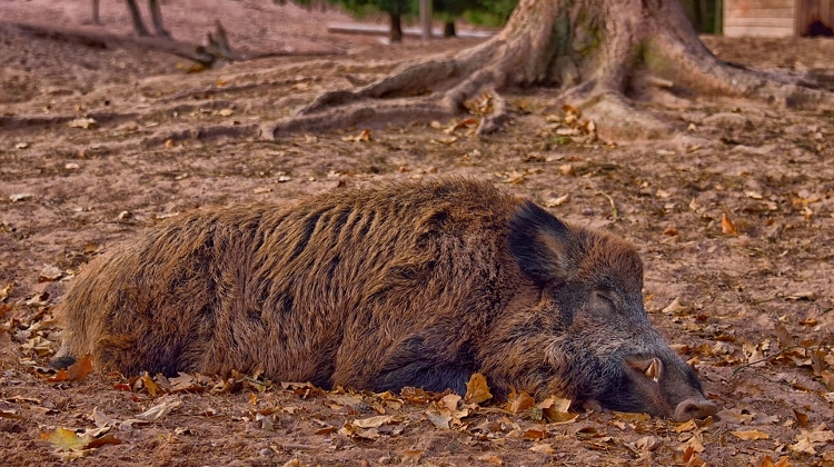 Chief Vet: 100's Of Wild Boars Killed By African Flu Found Near Budapest