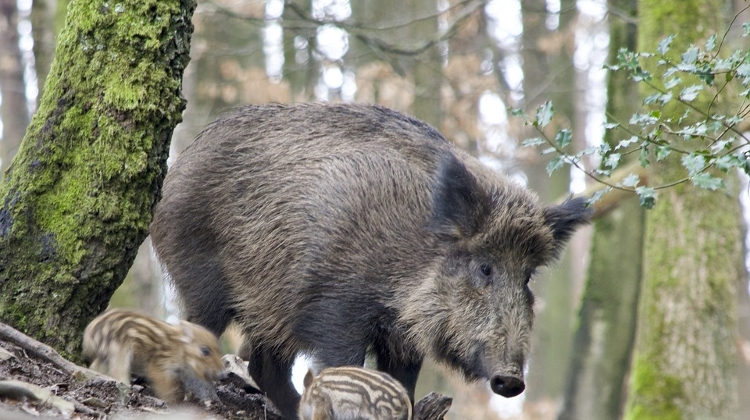Video: Thousands Of Wild Boars Have Contracted Swine Flu In Hungary