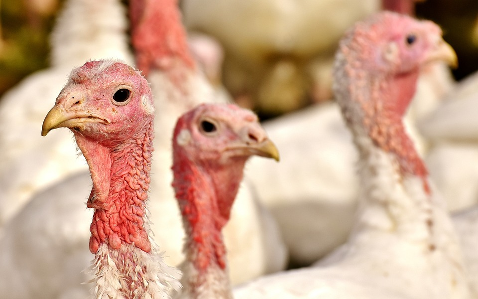 Bird Flu Virus Detected In Northern Hungary