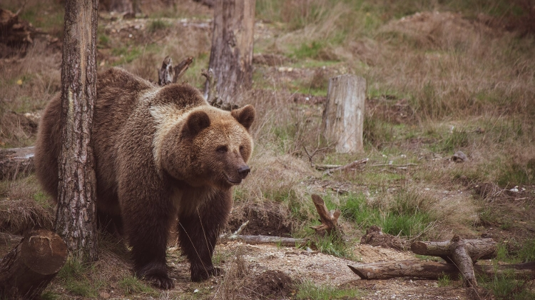 Three Bears Sighted In Cemetery Northeast Of Budapest
