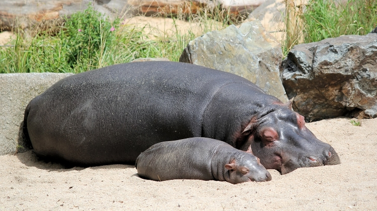 Video: Endangered Hippo Born In Hungarian Zoo