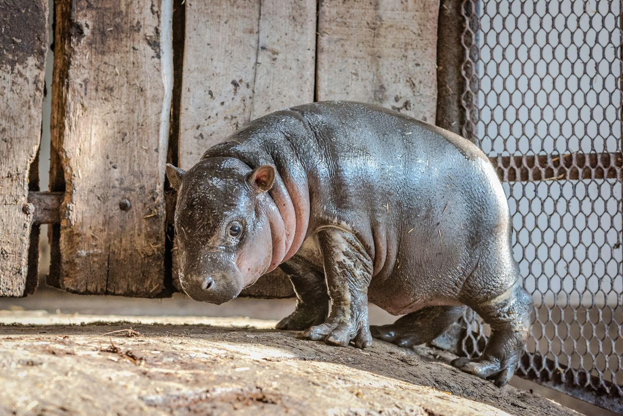 Video: Endangered Hippo Born In Hungary