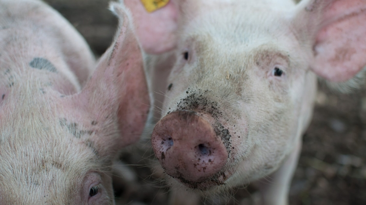 Pork Prices Plummet In Hungary