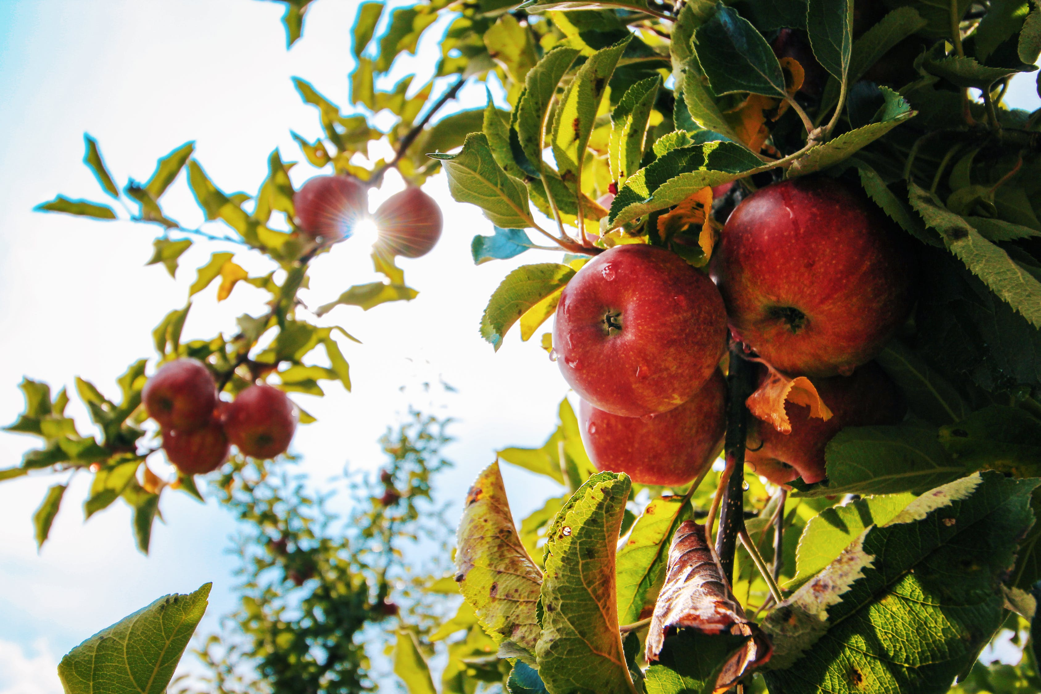 Frost Damage May Reduce Fruit Harvest By 40% In Hungary