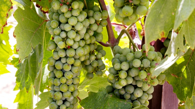 Hungary To Produce 2.2-2.5 Million Hectolitres Of Wine This Season