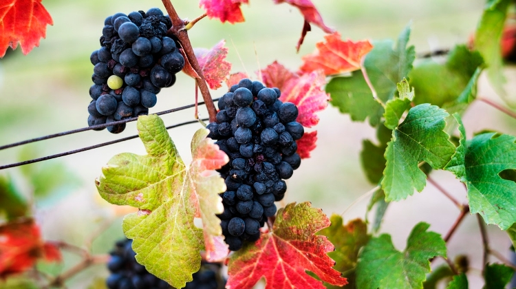 Enough Grapes Harvested In Hungary To Meet Wine Needs