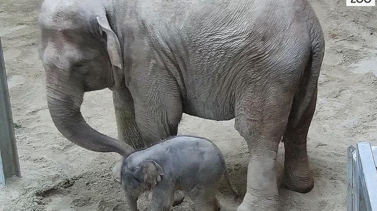 Watch: Baby Elephant Takes First Steps At Budapest Zoo