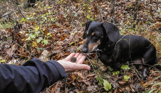 Autumn Truffle Hunting In Hungary