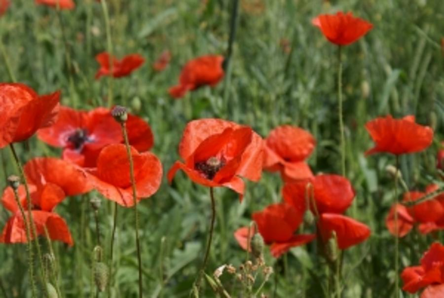 Poppies Available In Budapest, Remembrance Day Service in Hungary