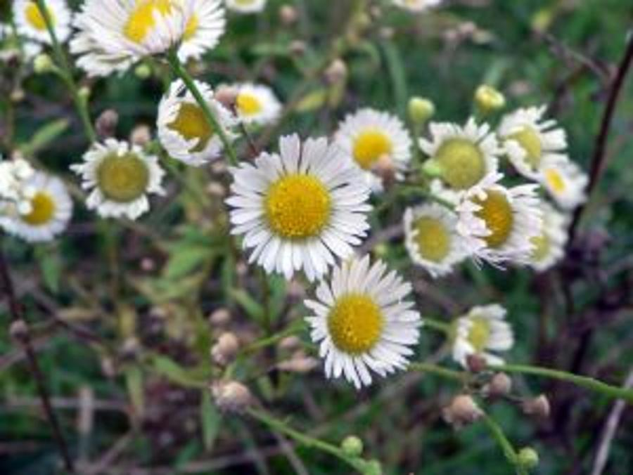 Hungarian Wild Camomile Flower Granted EU Protection