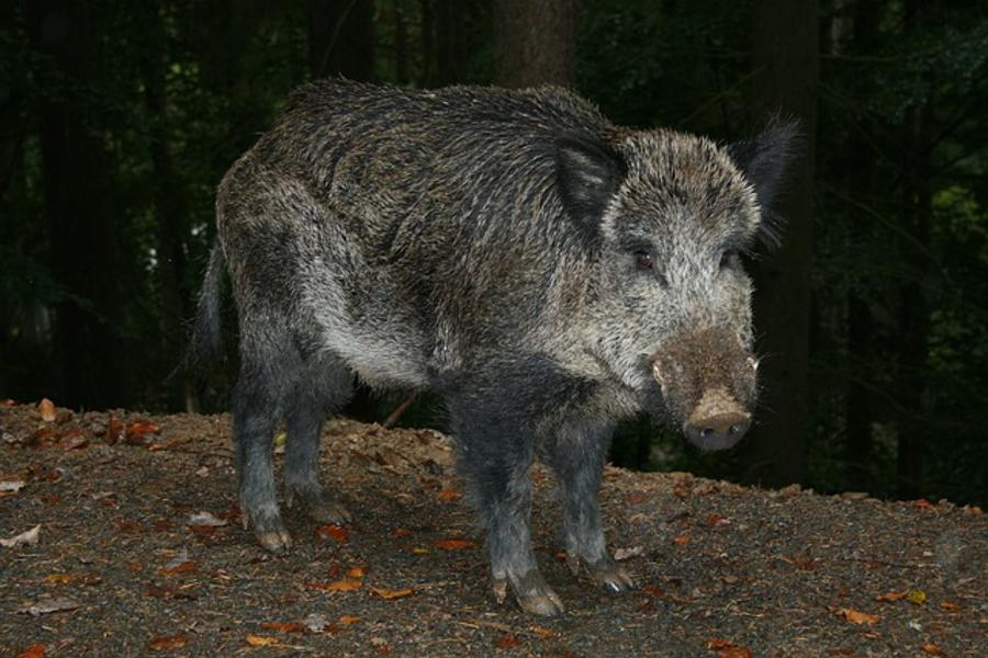 Wild Boar Adapt To Urban Living In Hungary