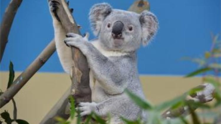 An Ordinary Day For Koalas In Budapest Zoo