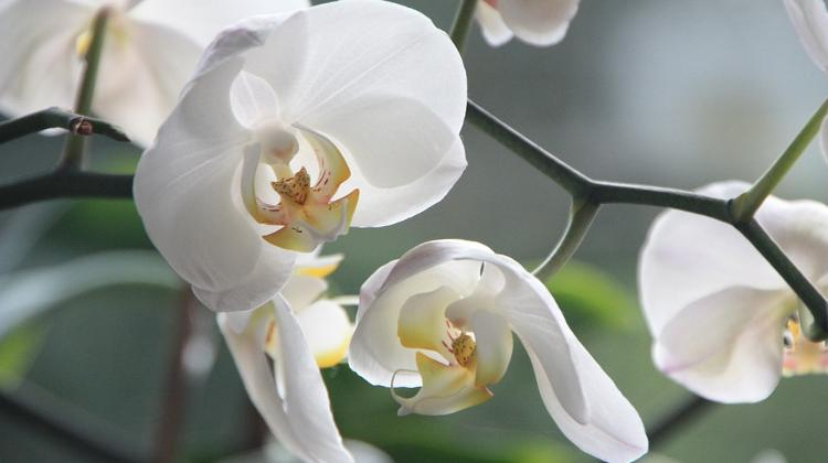 Spring Orchid Show, Vajdahunyad Castle, 11 - 14  March