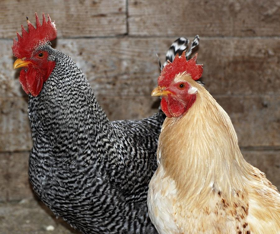 Sanitation Authority Orders Poultry Cull Around Bird Flu Areas