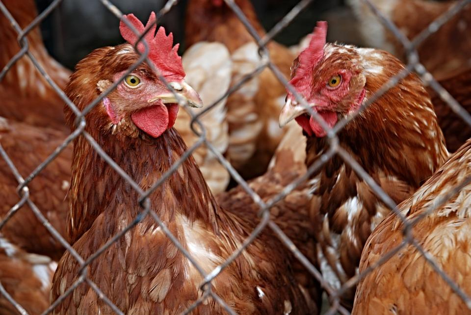 Taiwan Also Bans Hungarian Poultry