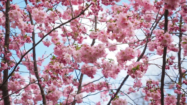 Think Pink! Cherry Blossom Fest In Budapest