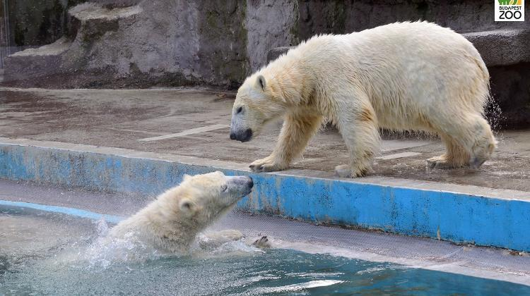 Video: Ice Cubes Keep Polar Bears Cool In Sizzling Hungary