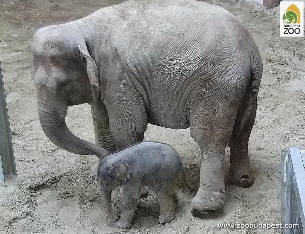 Elephant Baby Born At Budapest Zoo